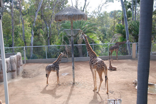 sdzoogiraffes 7 Tips to Maximize Your Trip To The San Diego Zoo