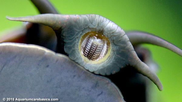 mystery-snail-mouth-teeth-tentacles