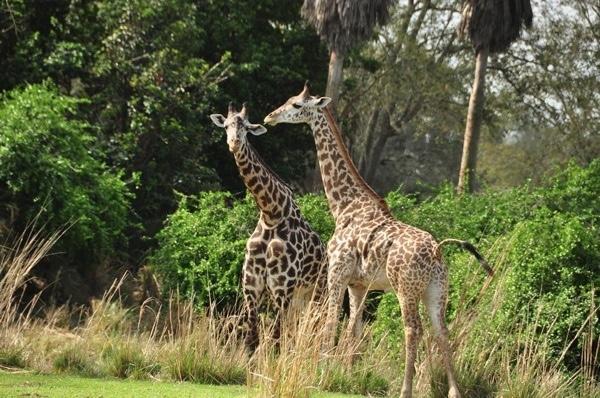Disney giraffes Animal Kingdom