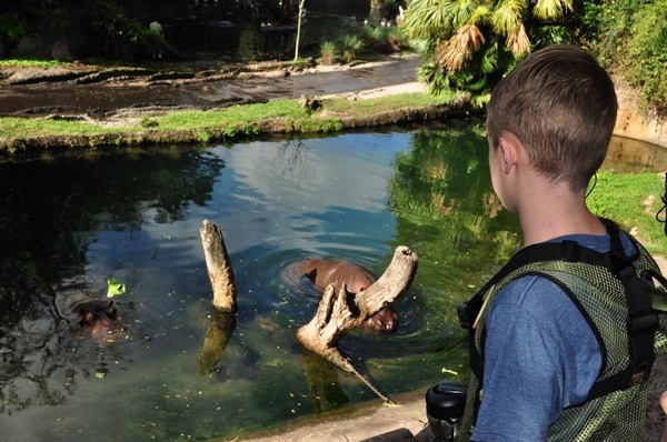 Disney Hippo Animal Kingdom