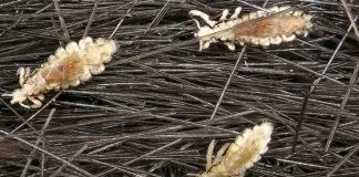 CDC Claims Kids With Lice Should Still Go To School