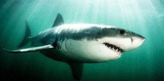shark featured